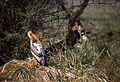 Painted Stork (Mycteria leucocephala) (20137526373).jpg