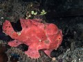 Painted frogfish (Antennarius pictus) (44718125542).jpg