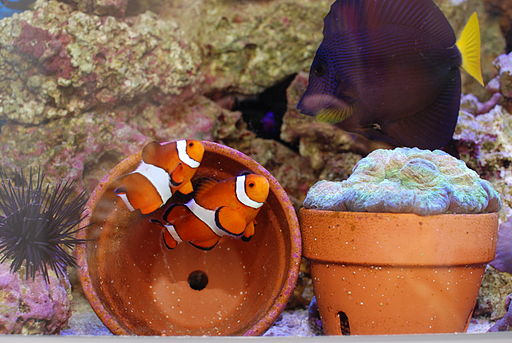 clownfish breeding pots