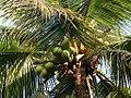Palm Tree & Coconuts... (148713113).jpg
