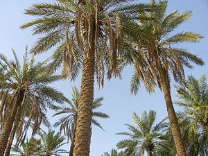 Al-Qassim Region - Palm trees in Unaizah