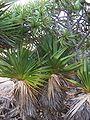 Pandanus heterocarpus 11 (young plants).jpg