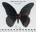 PapilioMemnonMUpUnAC1.jpg