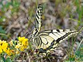 Papilio machaon 13.JPG