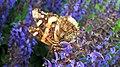 Papillon - panoramio (1).jpg