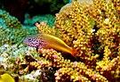 Paracirrhites forsteri Forsters Hawkfish juvenile Papua New Guinea by Nick Hobgood.jpg