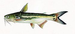 Driftwood catfish