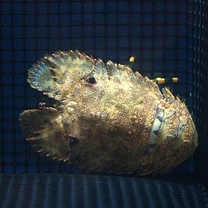 Slipper lobster - Parribacus japonicus