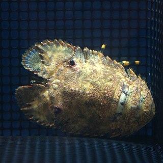 <i>Parribacus japonicus</i> species of crustacean