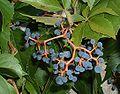 Parthenocissus quinquefolia fructis.jpg