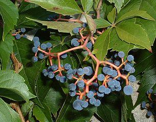 Pavinič päťlistý - plody