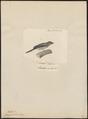 Parus exilis - 1700-1880 - Print - Iconographia Zoologica - Special Collections University of Amsterdam - UBA01 IZ16100165.tif