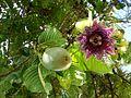 Passiflora quadrangularis (Barbadine 1).jpg