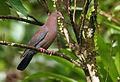 Patagioenas flavirostris -Costa Rica-8.jpg