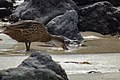 Pato de Galápagos (45450369185).jpg