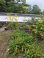 Patrinia scabiosifolia - Koko-en 02.jpg