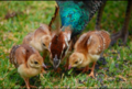 Peafowl chicks.png