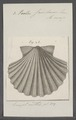 Pecten jacobaeus - - Print - Iconographia Zoologica - Special Collections University of Amsterdam - UBAINV0274 075 01 0010.tif