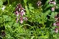 Pedicularis chamissonis var. japonica 08.jpg