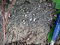 Pedogenic breccia (Conemaugh Group, Upper Pennsylvanian; creek cut on the western side of Caldwell, Ohio, USA) 6.jpg
