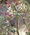Pelargonium dasyphyllum 01.jpg