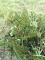 Pelargonium triste - Kenwyn Nature Park - Cape Town e.jpg