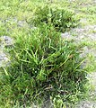 Pelargonium triste - Kenwyn Nature Park - Cape Town h.jpg