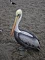 Pelican 2 (6235345433).jpg