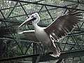 Pelican from Bannerghatta National Park 8577.JPG