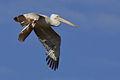 Pelican kurladi 2.jpg