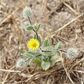 Pentanema divaricatum (Asteraceae) (27616925162).jpg