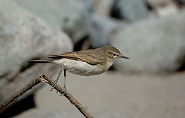 Perched Spot-billed Ground-tyrant (Muscisaxicola maculirostris) side view.jpg