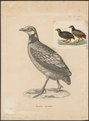 Perdix javanica - 1700-1880 - Print - Iconographia Zoologica - Special Collections University of Amsterdam - UBA01 IZ17100107.tif