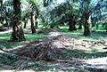 Perkebunan kelapa sawit milik rakyat (67).JPG