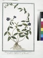 Pervinca vulgaris, angustifolia, flore coeruleo - Provenca, o Provinca - Pervenche. (Periwinkle) (NYPL b14444147-1125023).tiff