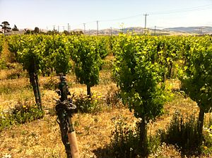 Durif - Petite Sirah plantings at Concannon vineyards in the Livermore Valley, California.