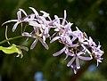 Petrea volubilis (Queen's Wreath, Purple Wreath) in Hyderabad, AP W IMG 9584.jpg