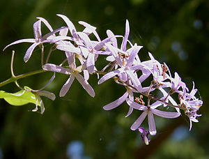 Petrea - Image: Petrea volubilis (Queen's Wreath, Purple Wreath) in Hyderabad, AP W IMG 9584
