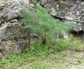 Peucedanum paniculatum Loisel..jpg