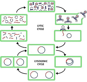 lytic cycle wikipedia virus lytic cycle animation virus lytic cycle diagram #16
