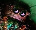 Phidippus audax Jumping Spider.jpg