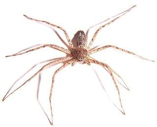 Philodromidae spider family