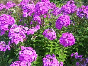English: Garden phlox Français : Phlox panicul...