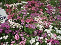 Phlox from Lalbagh flower show Aug 2013 8408.JPG