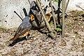Phoenicurus phoenicurus 02(js), Lodz (Poland).jpg