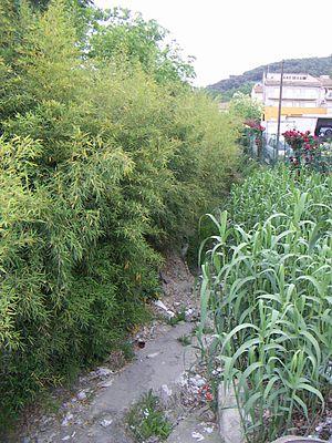 Arundo donax - Phyllostachys aurea (golden bamboo) and Arundo donax.