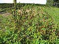 Phytolacca octandra plant8 (15292828971).jpg