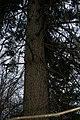 Picea abies PID1008-1.jpg