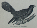 Picture Natural History - No 115 - The Cuckoo.png