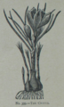 Picture Natural History - No 359 - The Crocus.png